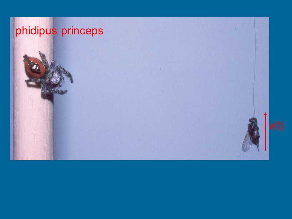 phidipus princeps v(t) (Hill, 2001)
