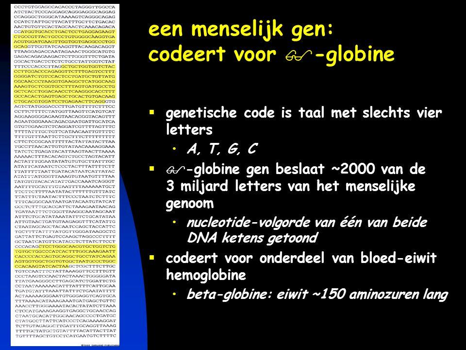 een menselijk gen: codeert voor -globine