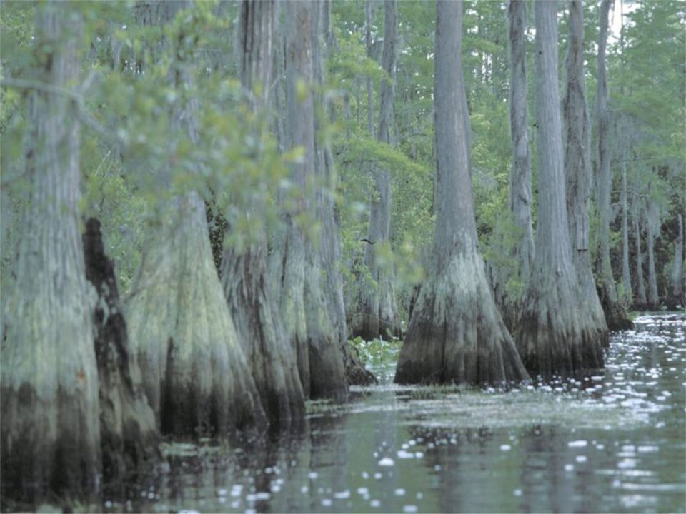 Taxodiaceae swamp