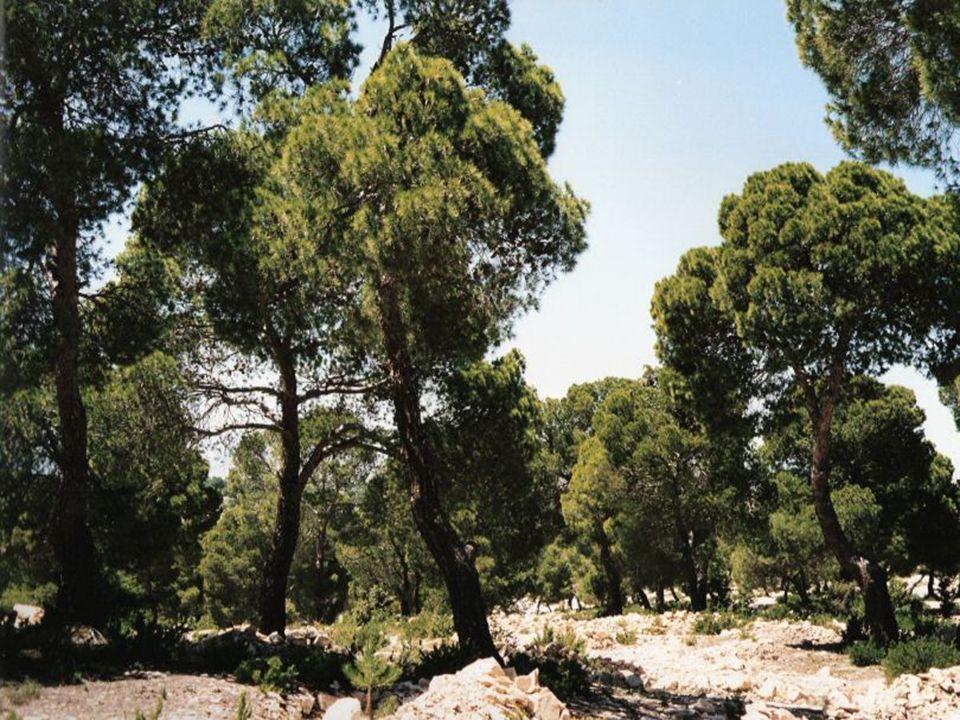 Mediterranean pinus forest Tunesia