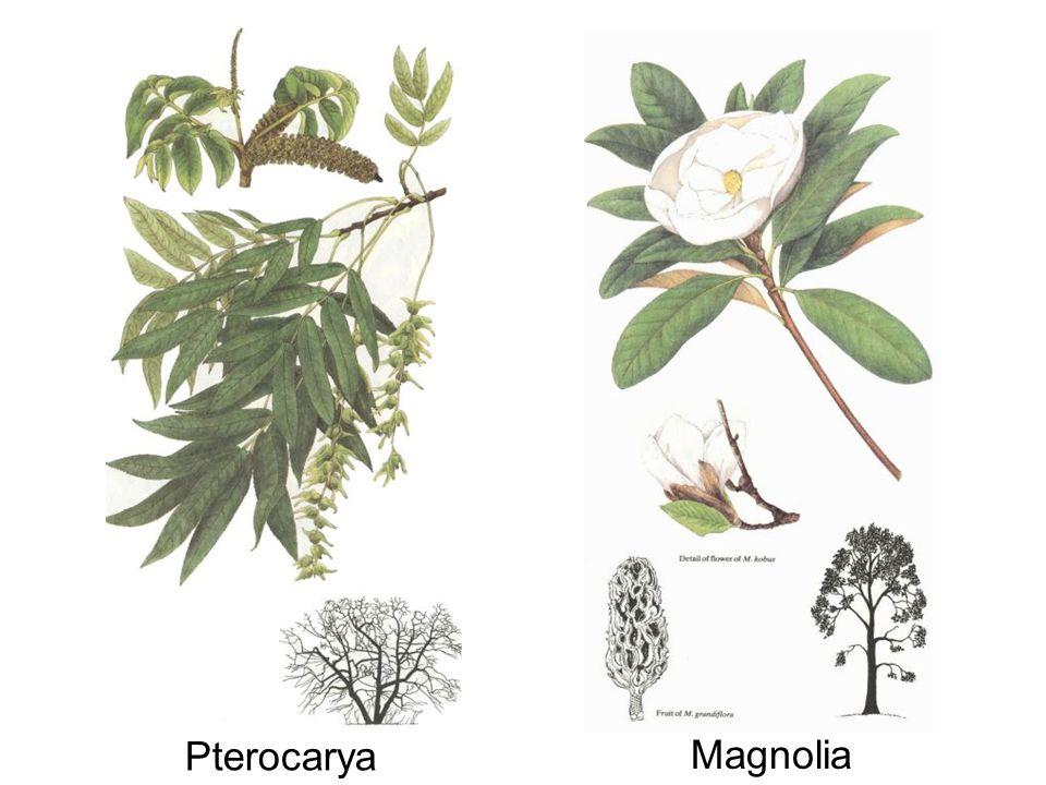 Pterocarya & Magnolia Pterocarya Magnolia