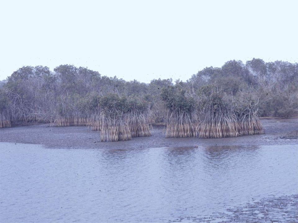 Coastal Mangrove Rhizophora