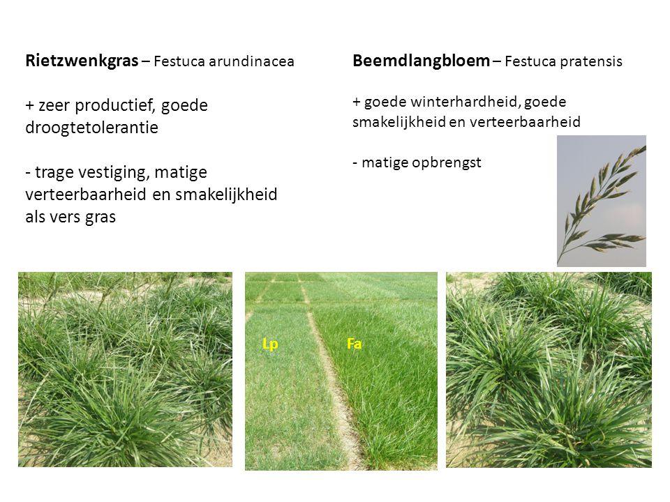 Rietzwenkgras – Festuca arundinacea