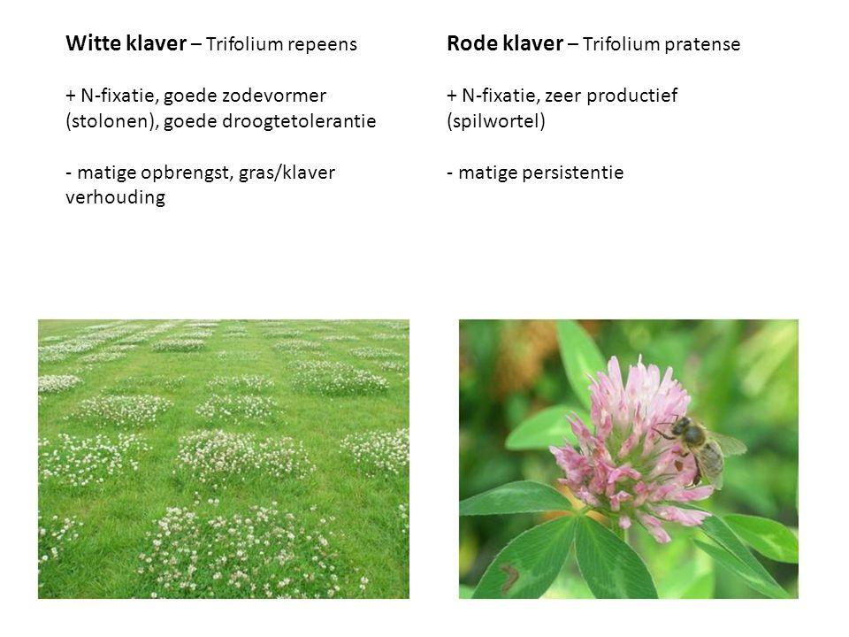 Witte klaver – Trifolium repeens Rode klaver – Trifolium pratense