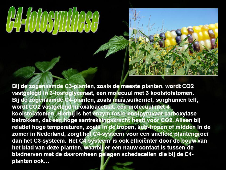C4-fotosynthese Bij de zogenaamde C3-planten, zoals de meeste planten, wordt CO2 vastgelegd in 3-fosfoglyceraat, een molecuul met 3 koolstofatomen.