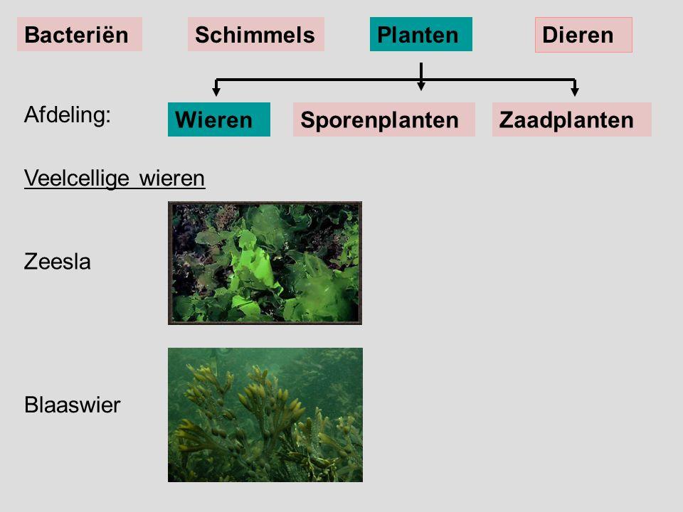 Bacteriën Schimmels. Planten. Dieren. Afdeling: Wieren. Sporenplanten. Zaadplanten. Veelcellige wieren.