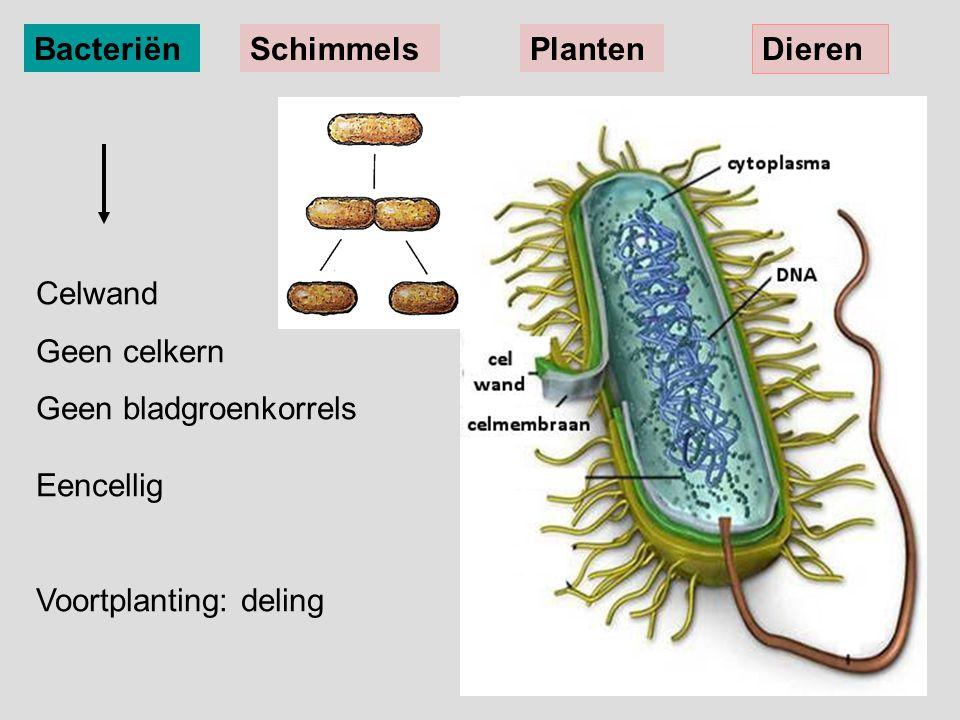 Bacteriën Schimmels. Planten. Dieren. Celwand. Geen celkern. Geen bladgroenkorrels Eencellig.