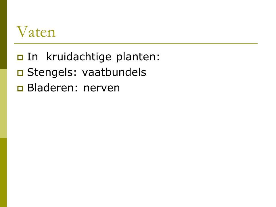 Vaten In kruidachtige planten: Stengels: vaatbundels Bladeren: nerven