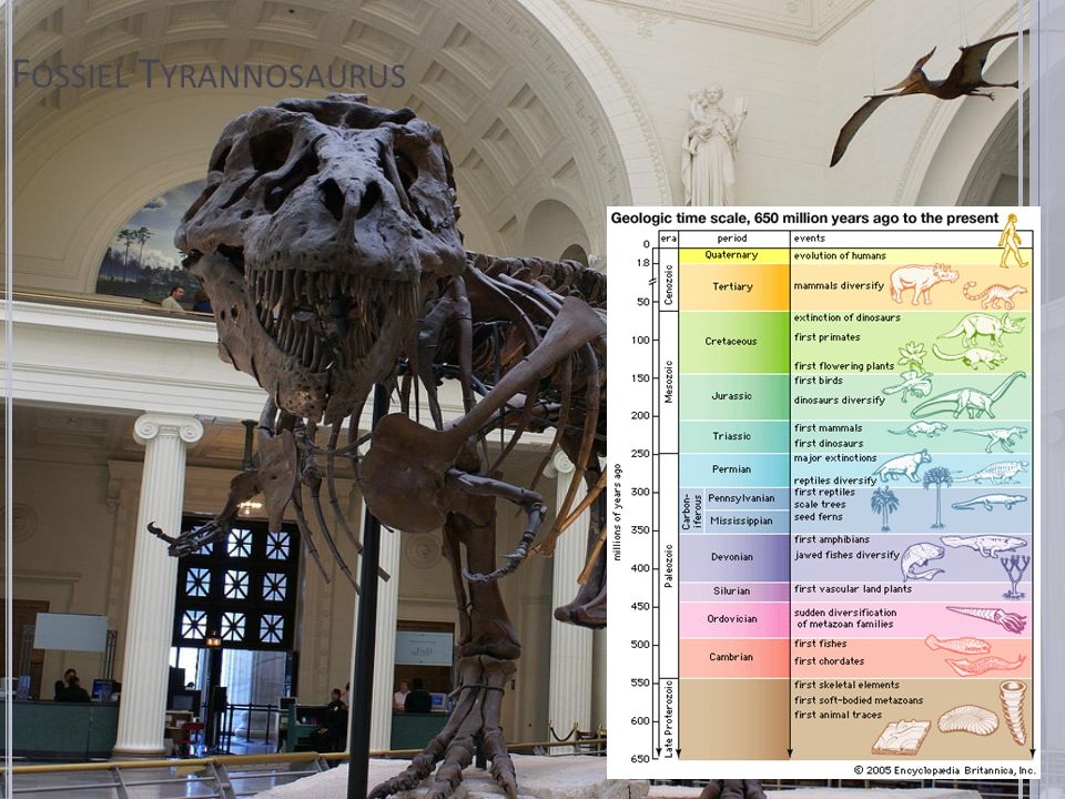 Fossiel Tyrannosaurus