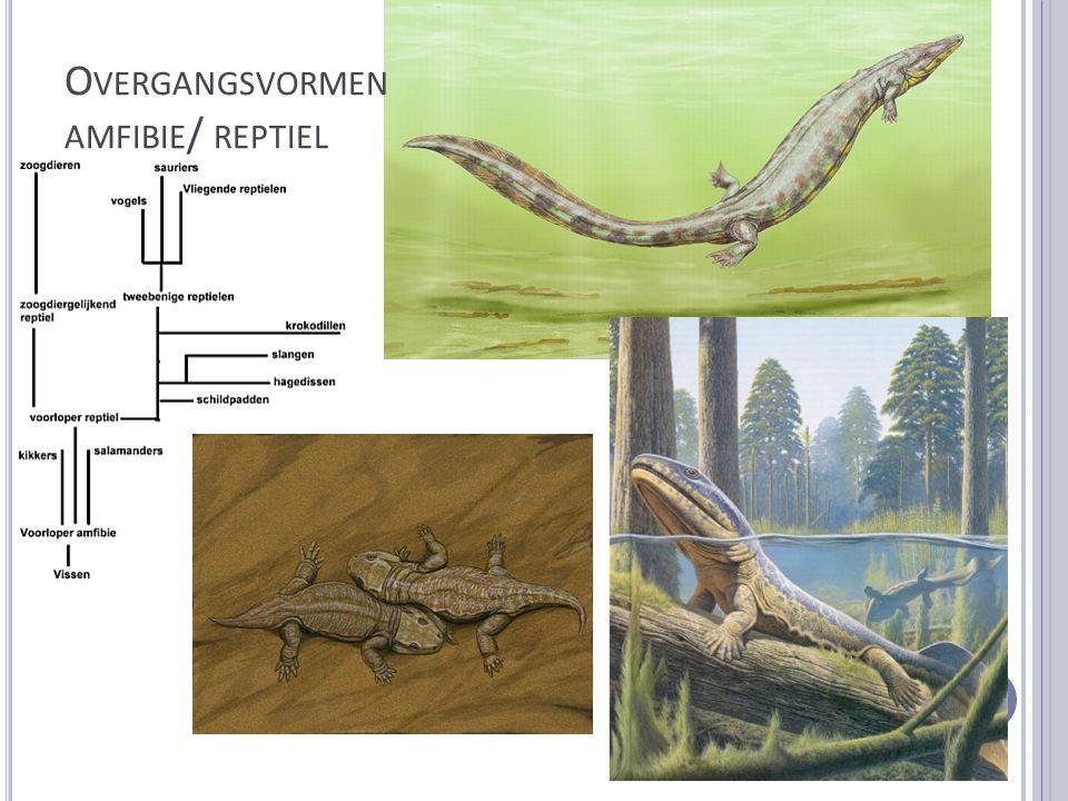 Overgangsvormen amfibie/ reptiel