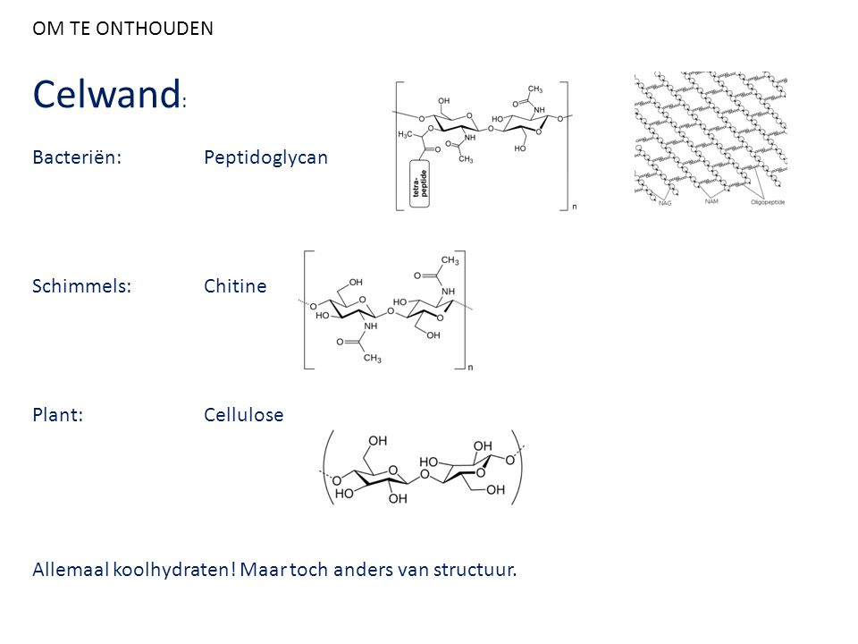 Celwand: OM TE ONTHOUDEN Bacteriën: Peptidoglycan Schimmels: Chitine