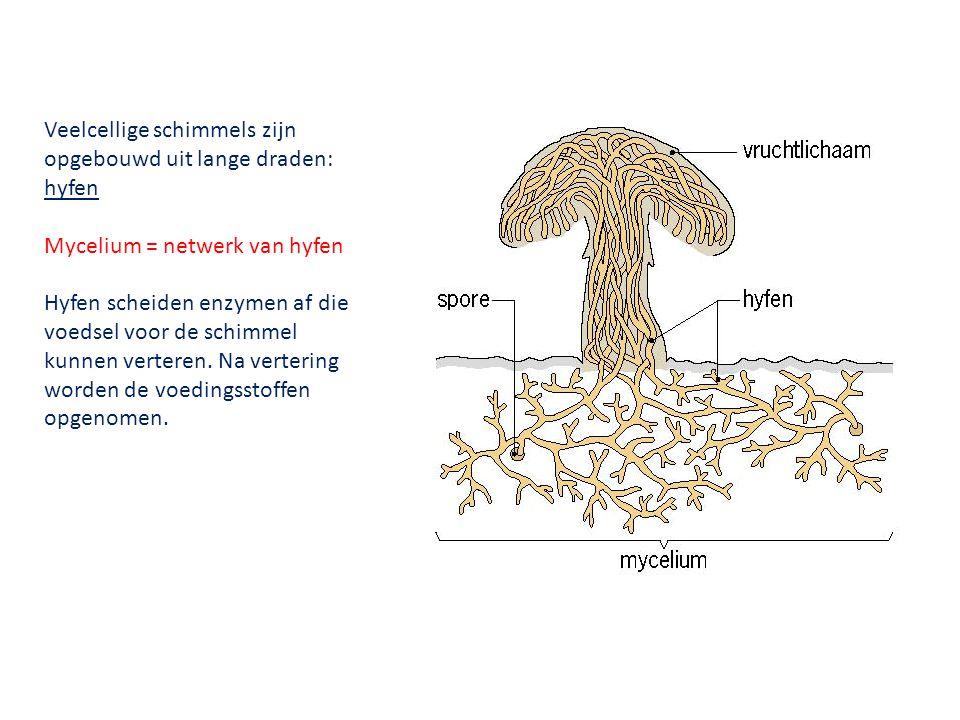 Veelcellige schimmels zijn opgebouwd uit lange draden: hyfen