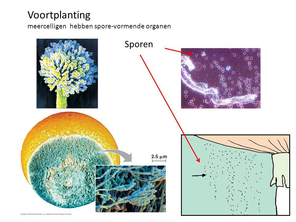 Voortplanting meercelligen hebben spore-vormende organen Sporen
