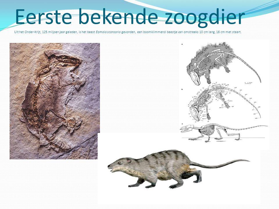 Eerste bekende zoogdier Uit het Onder-Krijt, 125 miljoen jaar geleden, is het beest Eomaia scansoria gevonden, een boomklimmend beestje van omstreeks 10 cm lang, 16 cm met staart.