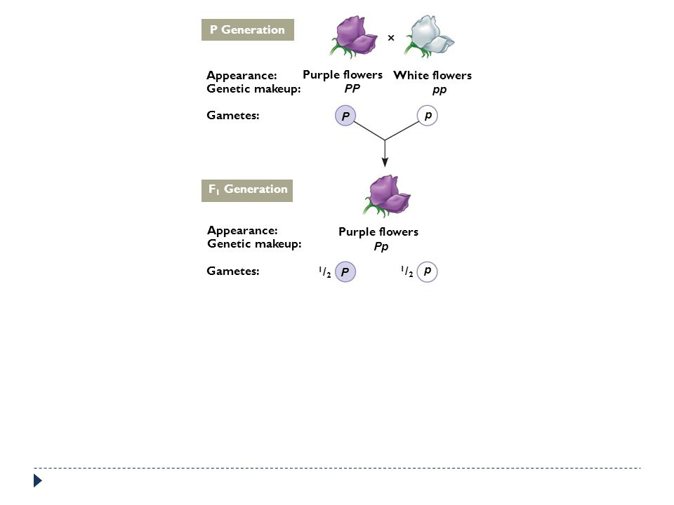 P Generation Appearance: Purple flowers. White flowers. Genetic makeup: PP. pp. Gametes: P. p.