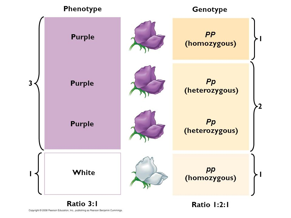 Phenotype Genotype. PP. Purple. 1. (homozygous) 3. Purple. Pp. (heterozygous) 2. Purple. Pp.