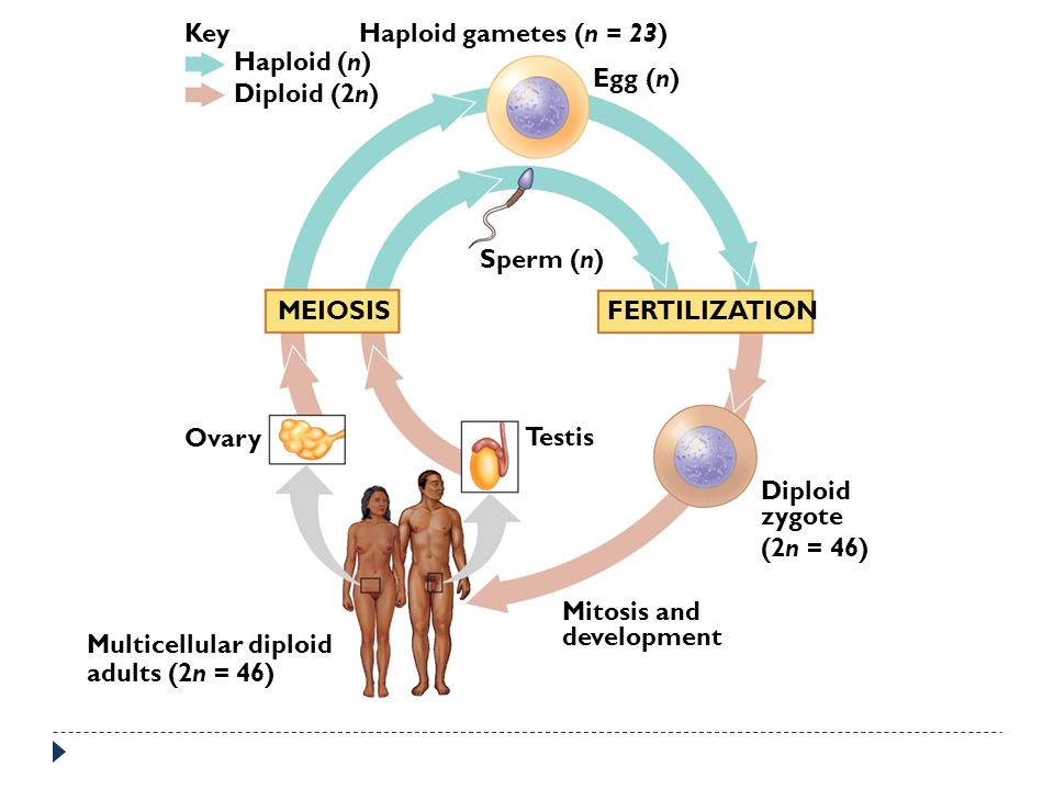 Key Haploid gametes (n = 23) Haploid (n) Egg (n) Diploid (2n) Sperm (n) MEIOSIS. FERTILIZATION.