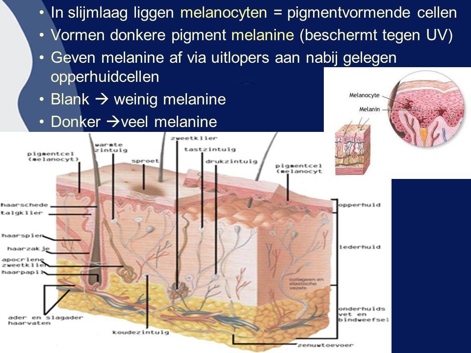 In slijmlaag liggen melanocyten = pigmentvormende cellen