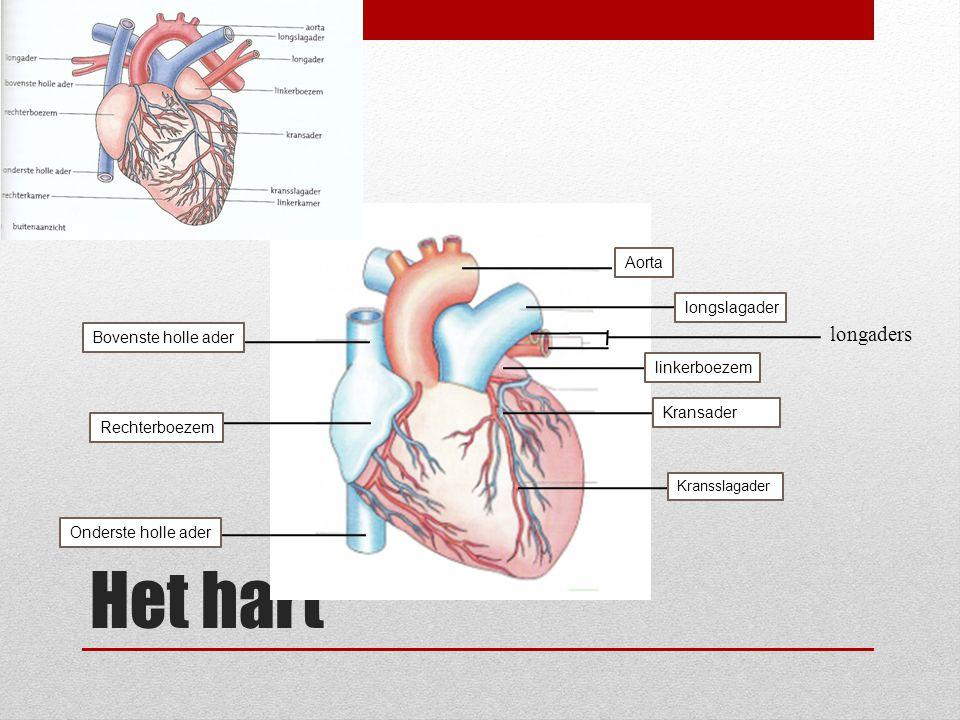 Het hart longaders Aorta longslagader Bovenste holle ader linkerboezem