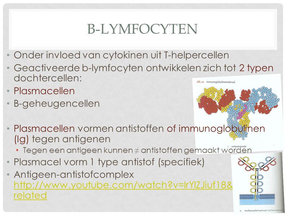 B-lymfocyten Onder invloed van cytokinen uit T-helpercellen