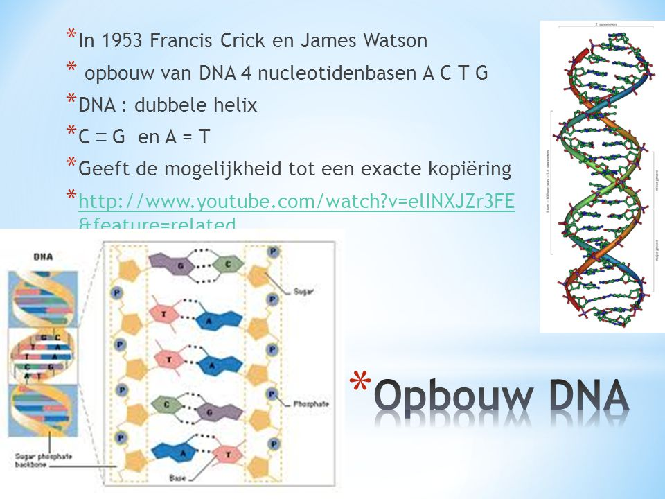 Opbouw DNA In 1953 Francis Crick en James Watson