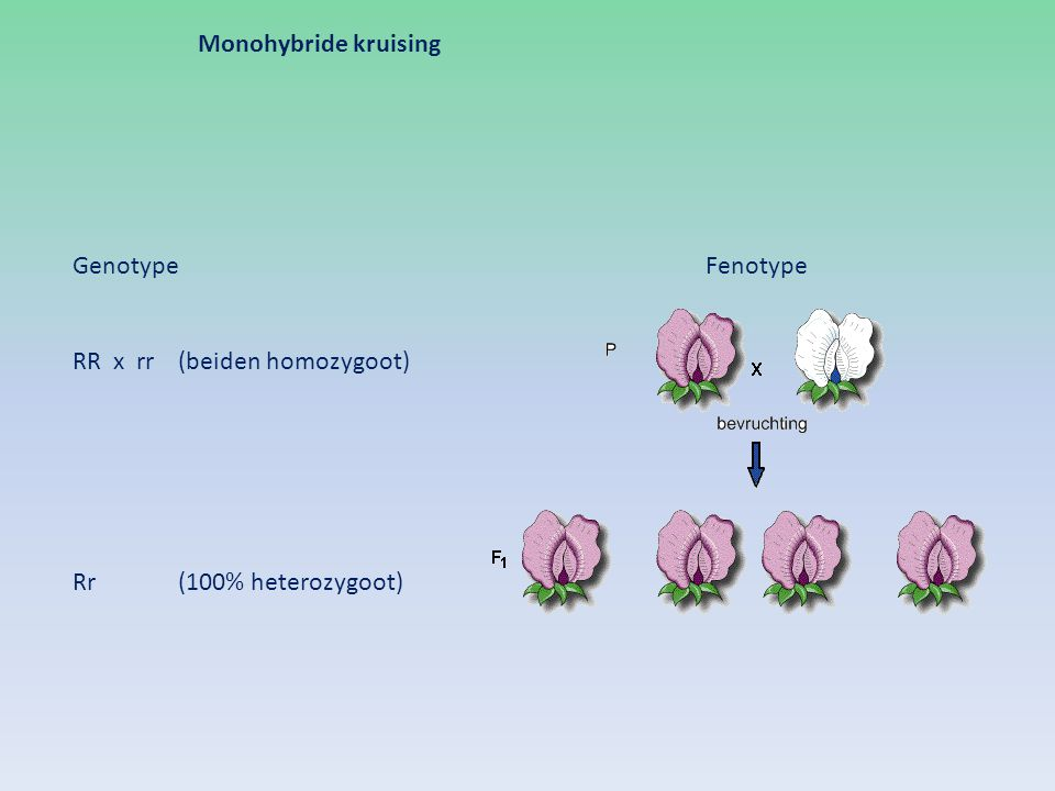 Monohybride kruising Genotype Fenotype RR x rr (beiden homozygoot) Rr (100% heterozygoot)