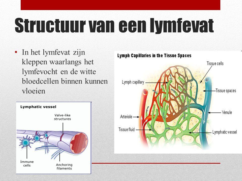 Structuur van een lymfevat
