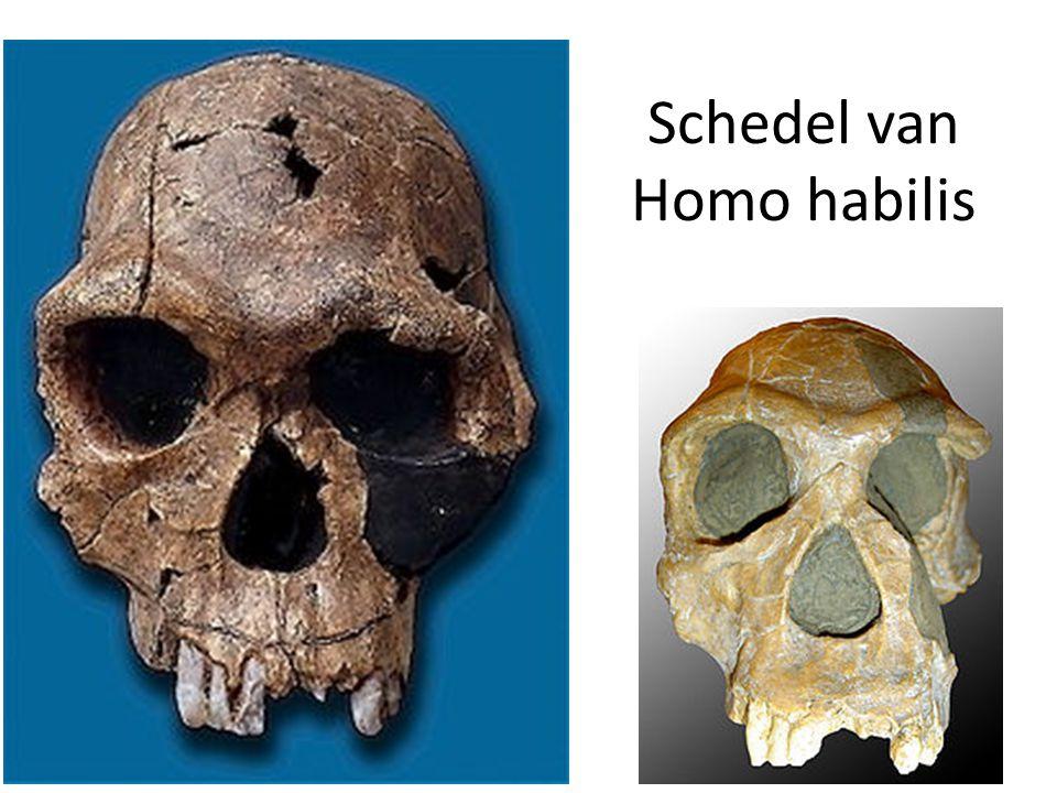 Schedel van Homo habilis