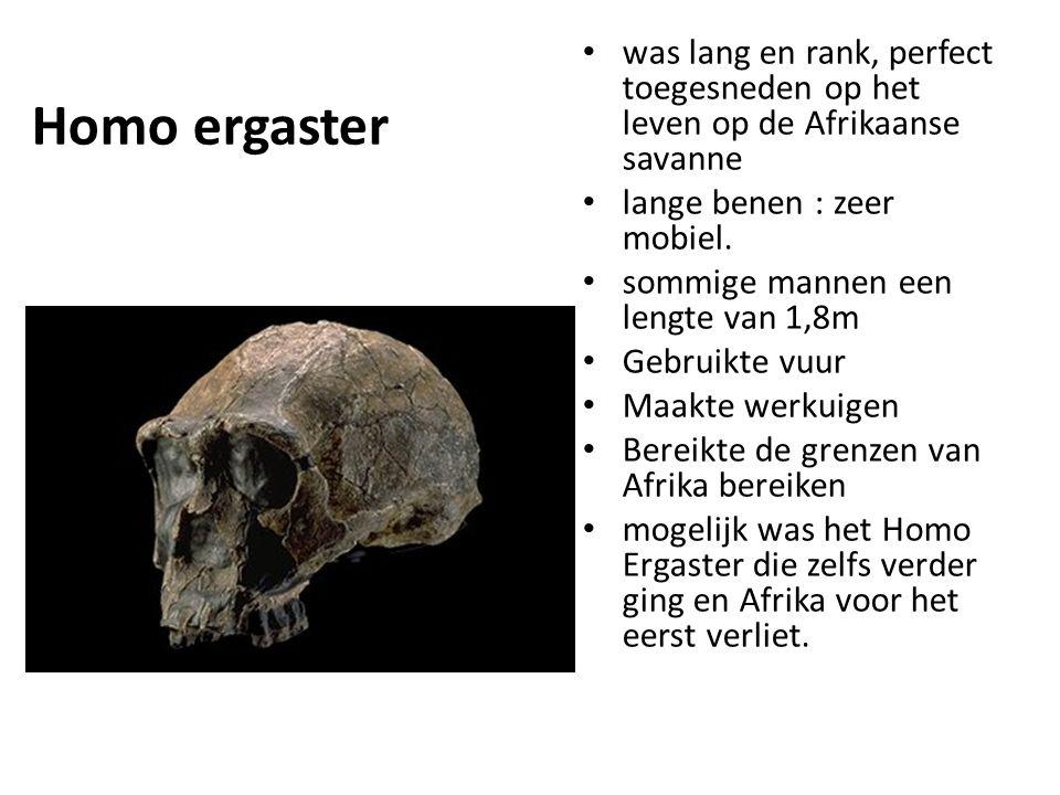 Homo ergaster was lang en rank, perfect toegesneden op het leven op de Afrikaanse savanne. lange benen : zeer mobiel.