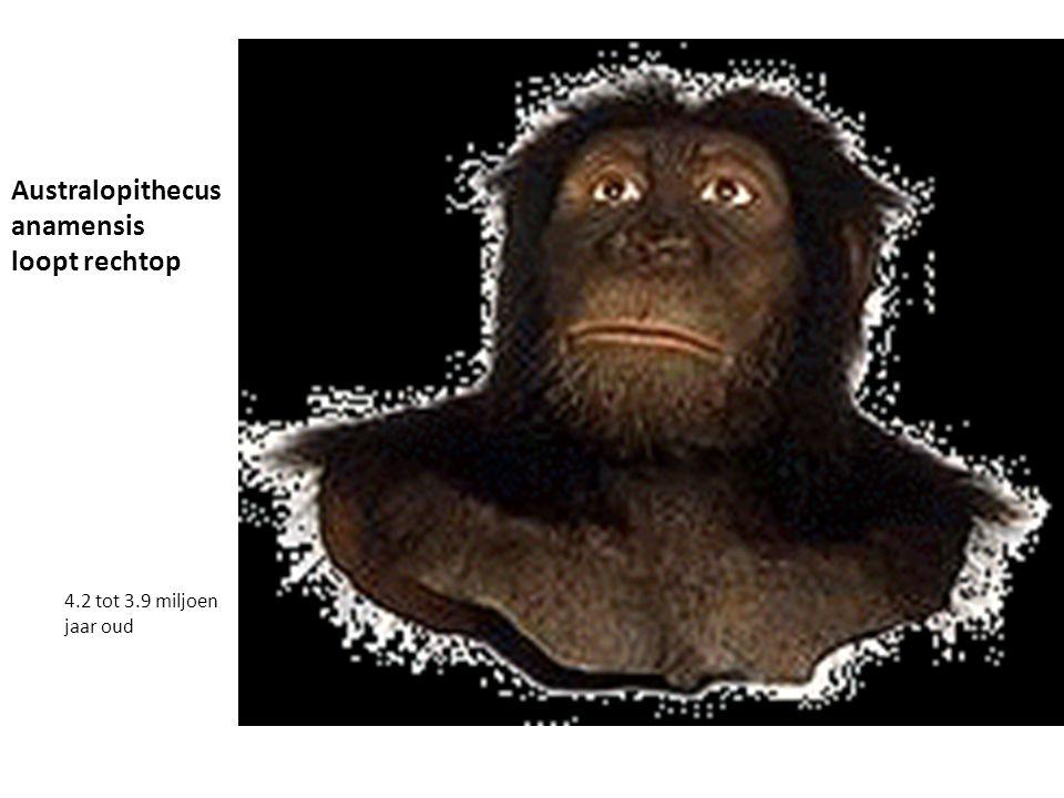 Australopithecus anamensis loopt rechtop