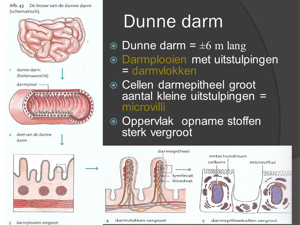 Dunne darm Dunne darm = ±6 m lang