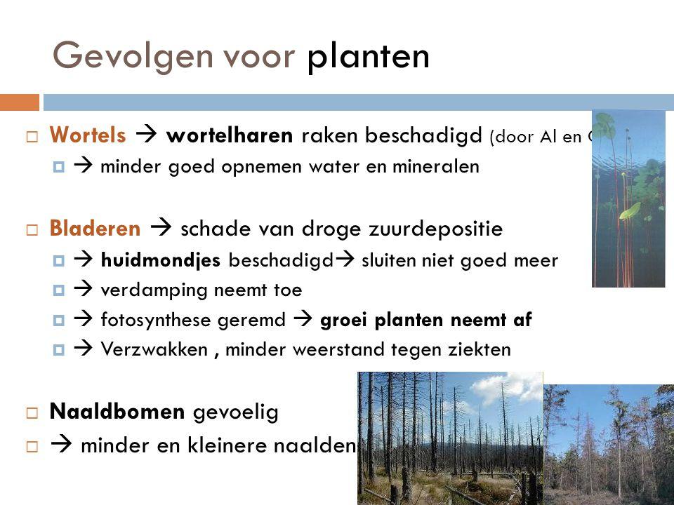 Gevolgen voor planten Wortels  wortelharen raken beschadigd (door Al en Cd)  minder goed opnemen water en mineralen.