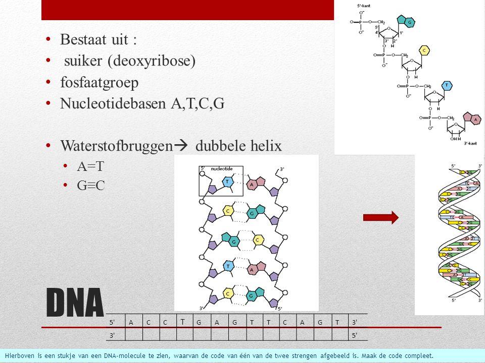 DNA Bestaat uit : suiker (deoxyribose) fosfaatgroep