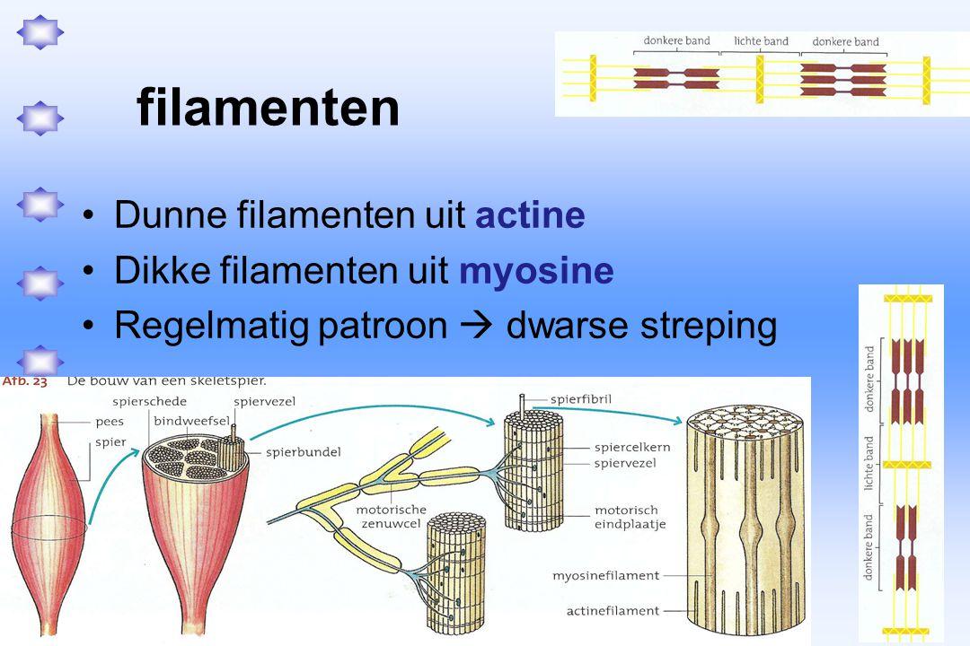 filamenten Dunne filamenten uit actine Dikke filamenten uit myosine