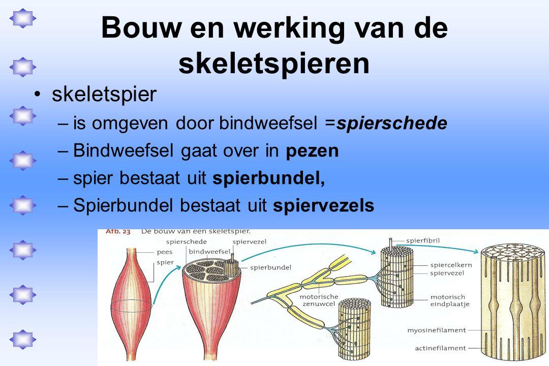 Bouw en werking van de skeletspieren