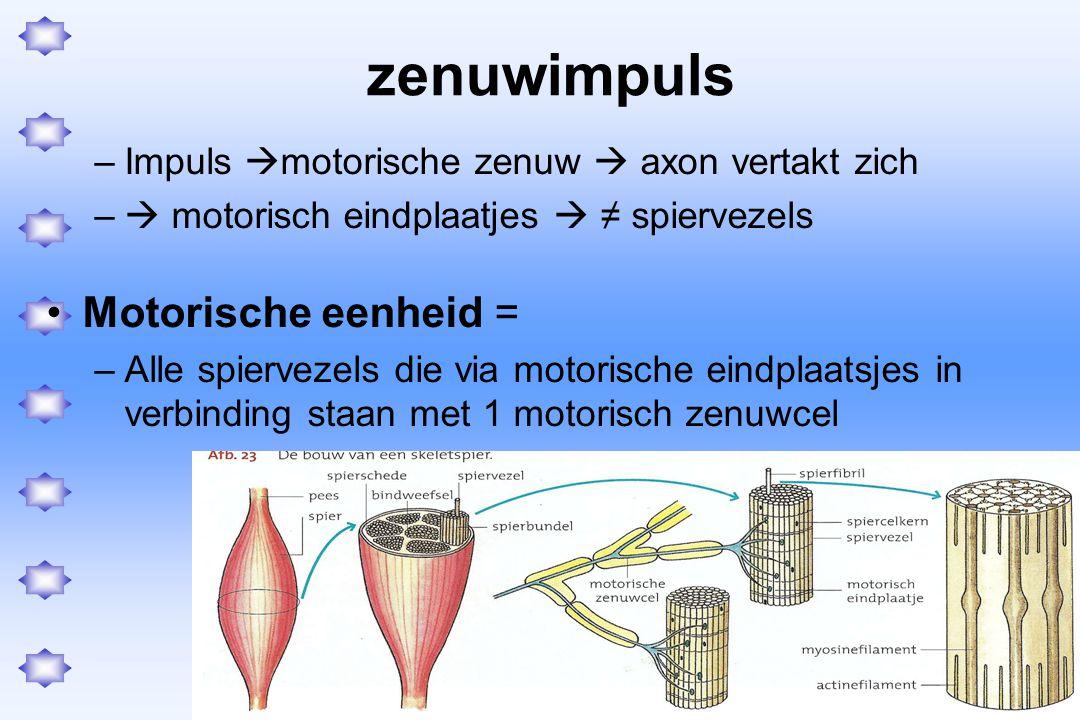 zenuwimpuls Motorische eenheid =