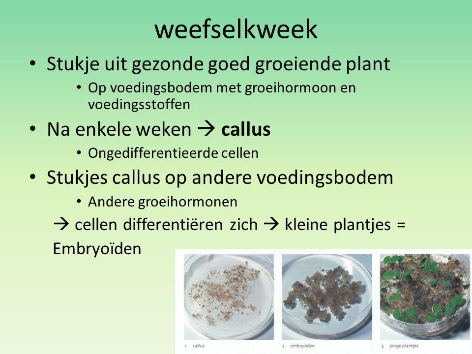 weefselkweek Stukje uit gezonde goed groeiende plant