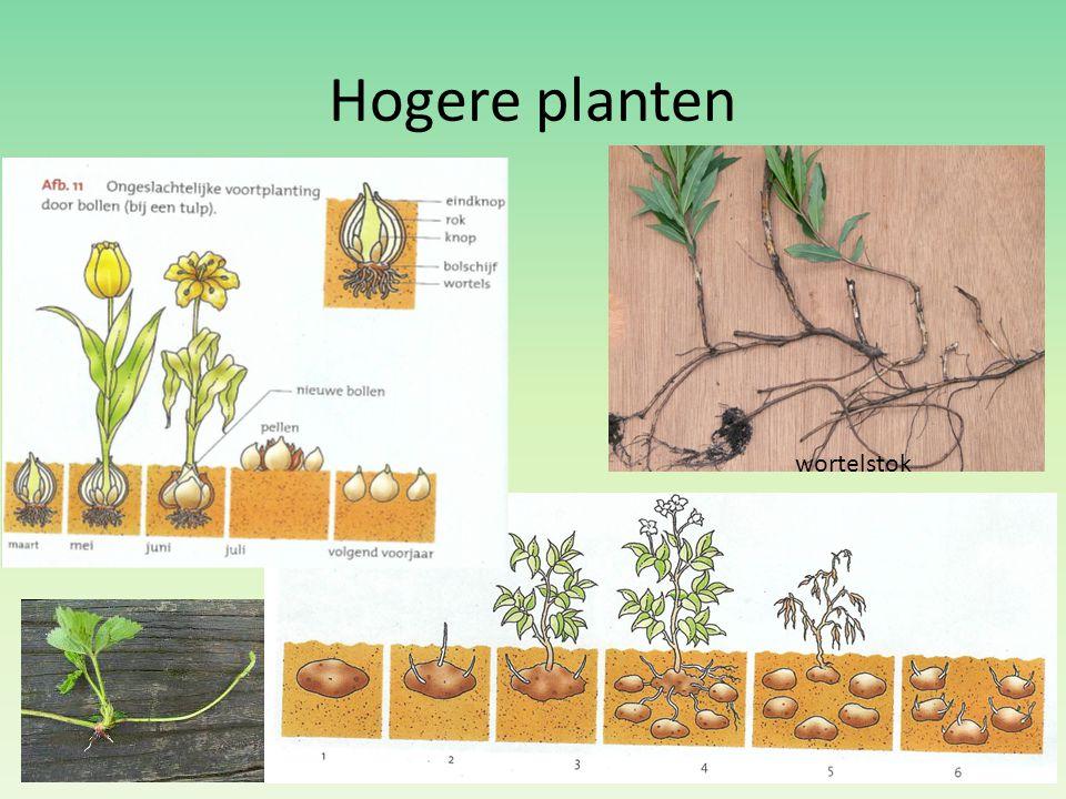 Hogere planten wortelstok