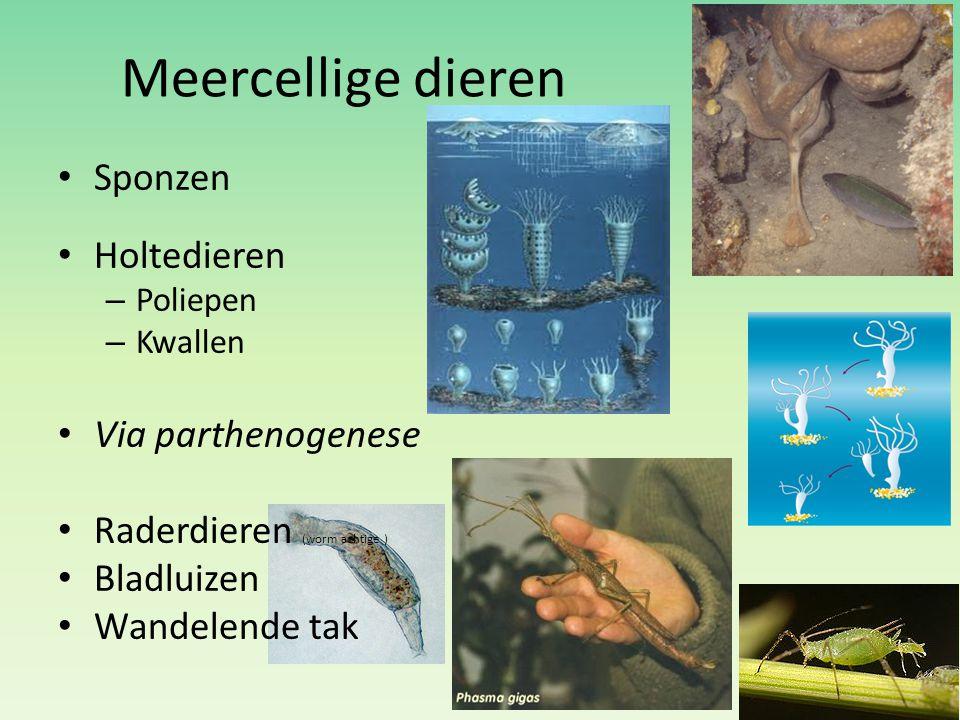 Meercellige dieren Sponzen Holtedieren Via parthenogenese