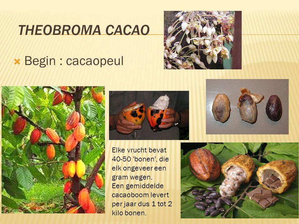 Theobroma cacao Begin : cacaopeul