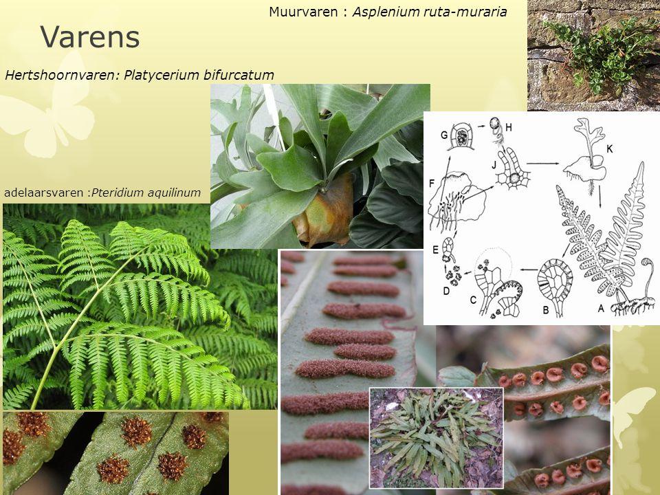 Varens Grote ingesneden bladeren Sporenhoopjes