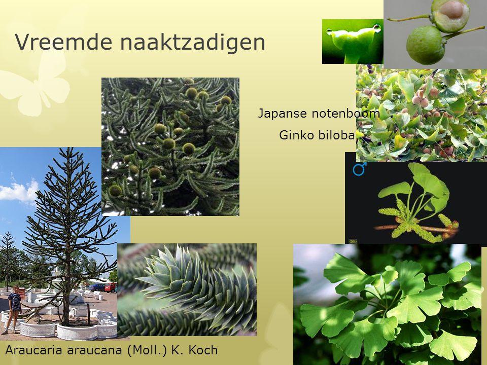 Vreemde naaktzadigen Japanse notenboom Ginko biloba
