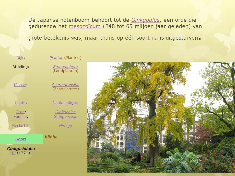 De Japanse notenboom behoort tot de Ginkgoales, een orde die gedurende het mesozoïcum (248 tot 65 miljoen jaar geleden) van grote betekenis was, maar thans op één soort na is uitgestorven.