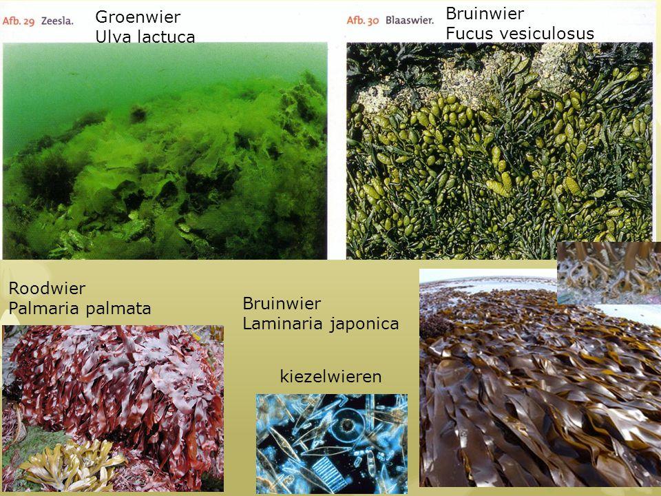 Groenwier Ulva lactuca. Bruinwier. Fucus vesiculosus. Roodwier. Palmaria palmata. Bruinwier. Laminaria japonica.