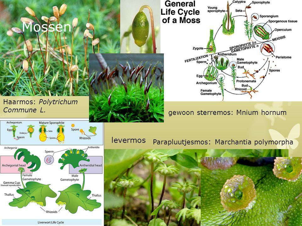 Mossen gewoon sterremos: Mnium hornum levermos Haarmos: Polytrichum