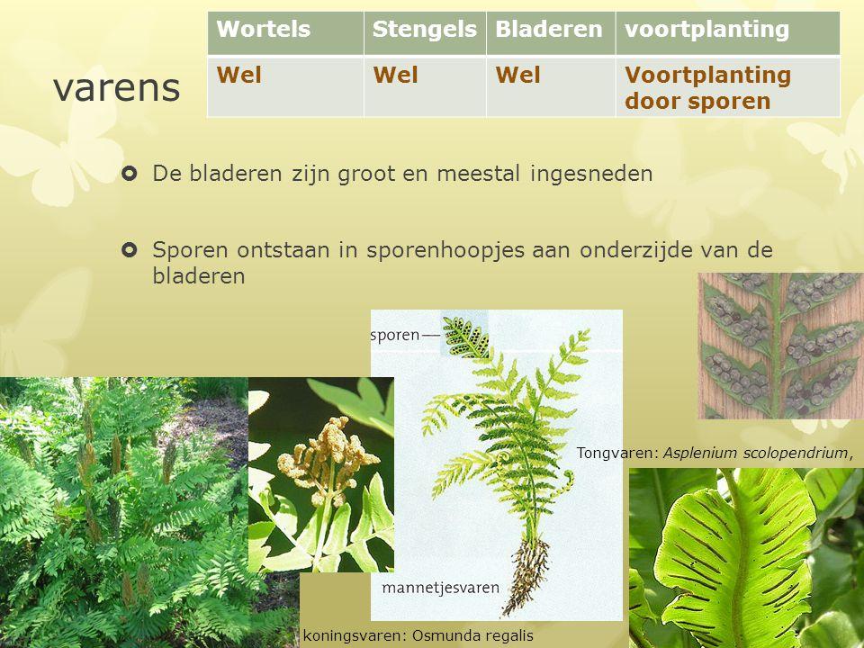 varens Wortels Stengels Bladeren voortplanting Wel
