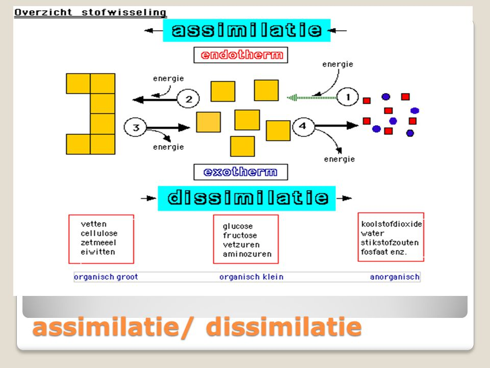 assimilatie/ dissimilatie
