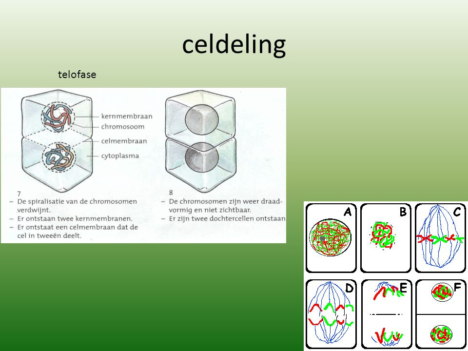 celdeling telofase