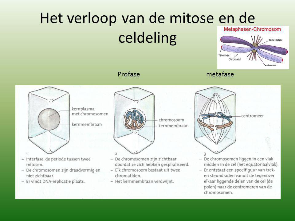 Het verloop van de mitose en de celdeling