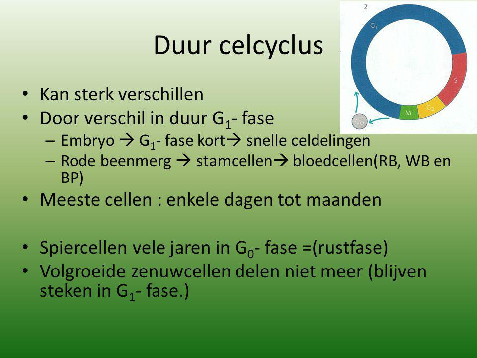 Duur celcyclus Kan sterk verschillen Door verschil in duur G1- fase